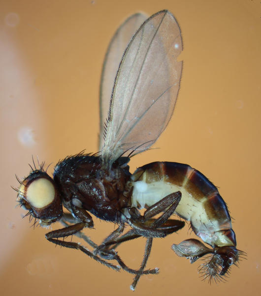 Meoneura lamellata, male, lateral view